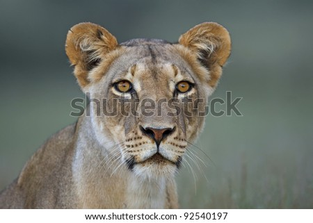 Portrait of a lioness - stock photo