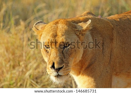 Portrait of a lioness (Panthera Leo) - stock photo