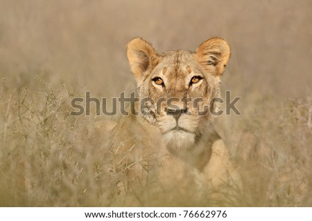 Portrait of a lioness (Panthera leo), South Africa - stock photo