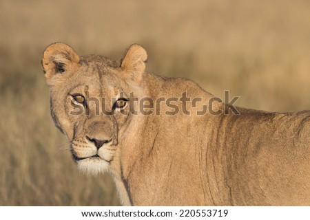 portrait of a lioness standing in the dry grassland of Khutse Game Reserve, Botswana, Africa