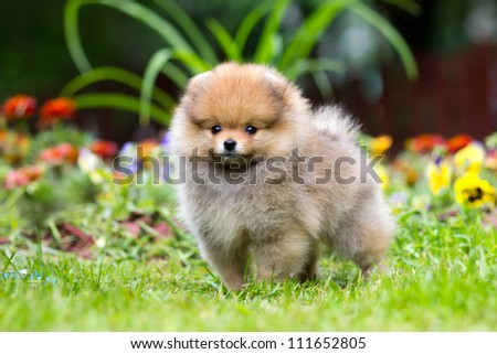 Portrait of a little fluffy Pomeranian puppy - stock photo
