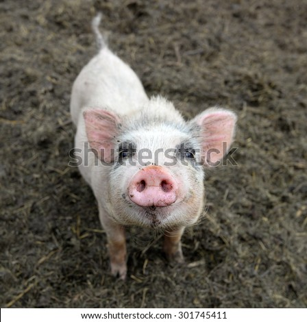Portrait of a little funny piglet on a farm/Little piglet/Little funny piglet on a farm - stock photo