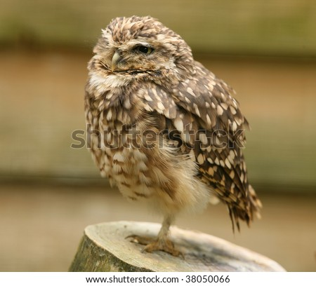 Portrait of a Little Owl - stock photo