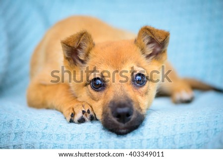 portrait of a little red puppy close-up - stock photo