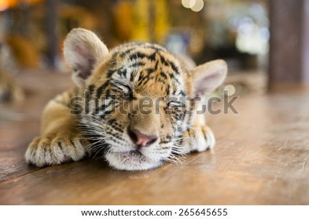 Portrait of a little tiger cub lies dormant sleeping on the wooden floor. Shallow depth of field