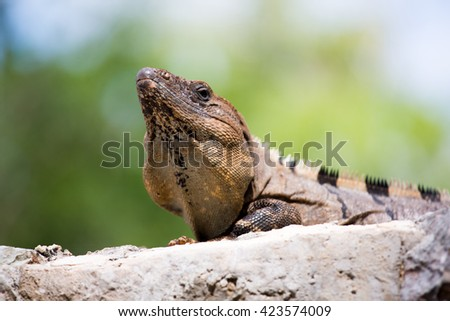 Portrait of a lizard Mexico nature Maya - stock photo