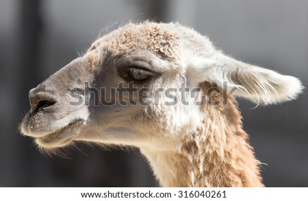Portrait of a llama at the zoo - stock photo