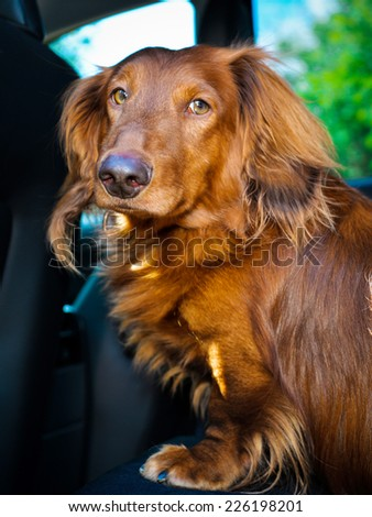 Portrait of a long-haired dachshund sitting in the car.