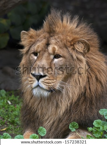 Portrait of a lying Asian lion, resting in forest shadow. The King of beasts, biggest cat of the world. The most dangerous and mighty predator of the world. Wild beauty of the nature. - stock photo