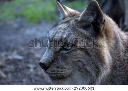 Portrait of a lynx - stock photo
