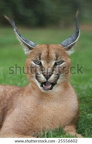 Portrait of a magnificent caracal or lynx from Africa - stock photo