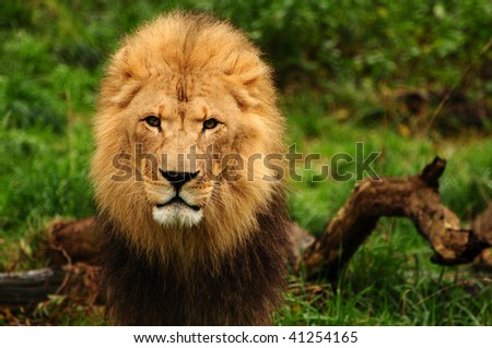 Portrait of a majestic african lion staring at the camera - stock photo