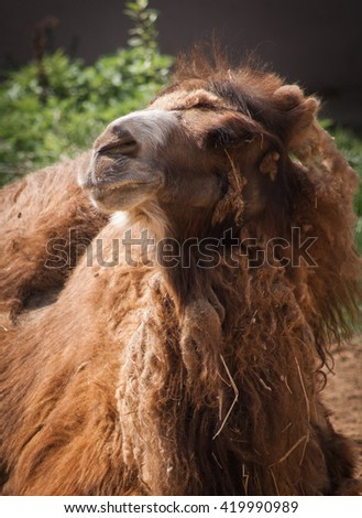 Portrait of a majestic brown camel lying on the ground