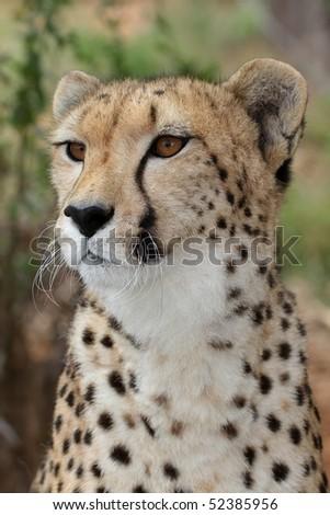 Portrait of a majestic cheetah wild cat - stock photo