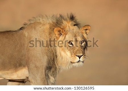 Portrait of a male African lion (Panthera leo), South Africa - stock photo