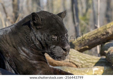 Portrait of a male black jaguar (Panthera onca)