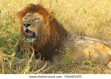 Portrait of a male lion (Panthera Leo) annoyed and yawning - stock photo
