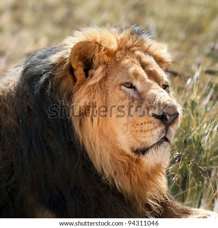Portrait of a male lion (Panthera leo) lying in the grass. Close up