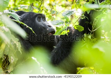 Portrait of a male mountain gorilla with cub at a short distance. gorilla close up portrait.The mountain gorilla (Gorilla beringei beringei)  - stock photo
