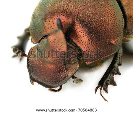 Portrait of a male Onthophagus coenobita isolated on white background - stock photo