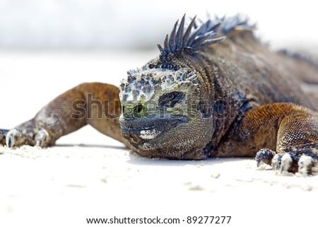 Portrait of a Marine Iguana on Galapagos - stock photo