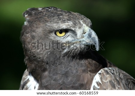 Portrait of a  Martial Eagle with staring yellow eye - stock photo