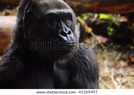 portrait of a mature gorilla lost in thought - stock photo