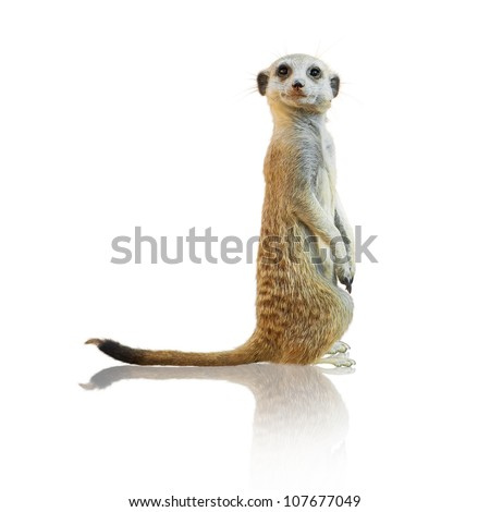 Portrait Of A Meerkat On White Background - stock photo