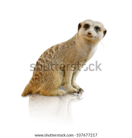 Portrait Of A Meerkat On White Background