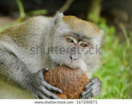Portrait of a Monkey Biting a Coconut
