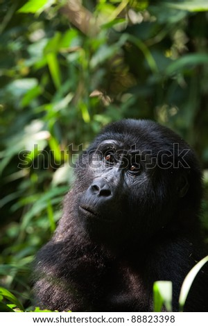 Portrait of a mountain gorilla at a short distance. A gorilla very close, but something has distracted her attention also she attentively looks upwards. - stock photo