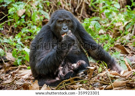 Portrait of a mountain gorilla with cub at a short distance. gorilla close up portrait.The mountain gorilla (Gorilla beringei beringei)  - stock photo