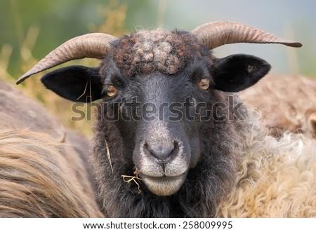 Portrait of a mountain sheep - stock photo