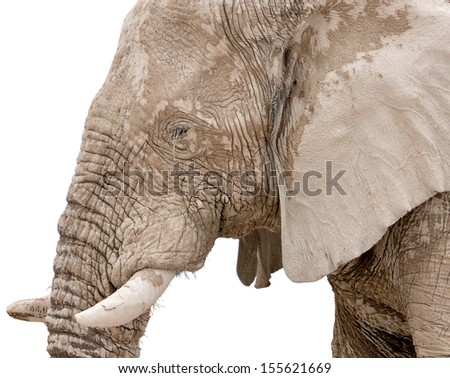 Portrait of a mud-covered elephant bull at Nebrownii waterhole in the Etosha National Park, Namibia. Isolated on a white background.