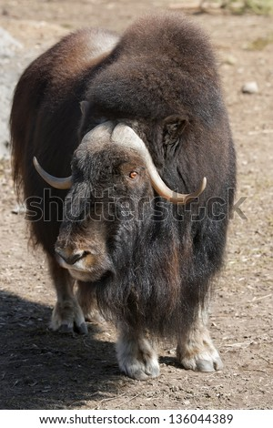 Portrait of a musk ox - stock photo