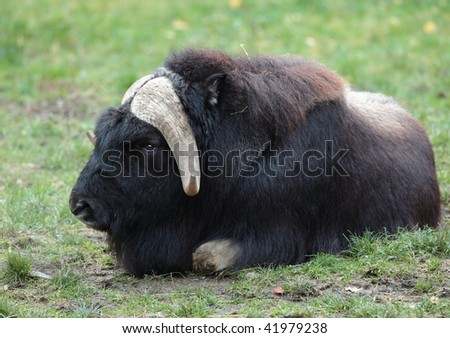 portrait of a musk ox (Ovibos moschatus) in nature - stock photo