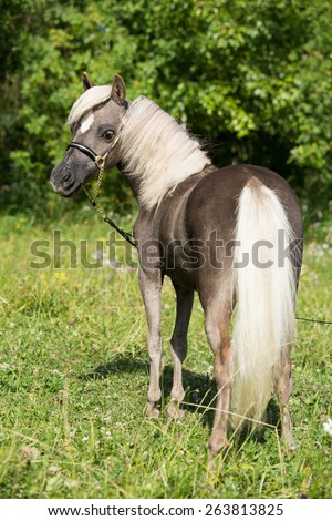 Portrait of a nice American Miniature Horse - stock photo