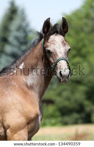 Portrait of a nice arabian foal - stock photo