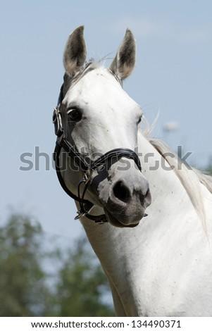Portrait of a nice arabian horse - stock photo