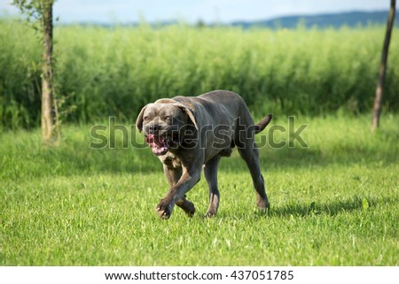 Portrait of a nice Cane Corso, italian mastiff dog running - stock photo