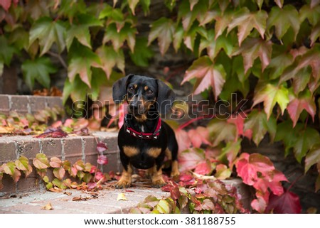 Portrait of a nice Dachshund in the autumn - stock photo