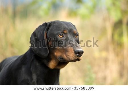 Portrait of a nice dog, breed Slovakian Hund - stock photo