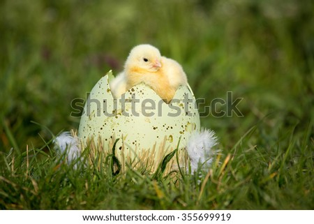 Portrait of a nice Easter Chicken - stock photo