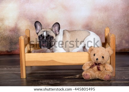 Portrait of a nice French Bulldog on a brown background - stock photo
