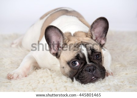 Portrait of a nice French Bulldog on a white background - stock photo