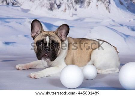 Portrait of a nice French Bulldog on a winter background - stock photo