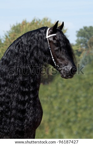 Portrait of a nice Friesian horse