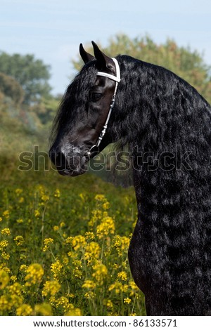 Portrait of a nice friesian horse in colza - stock photo