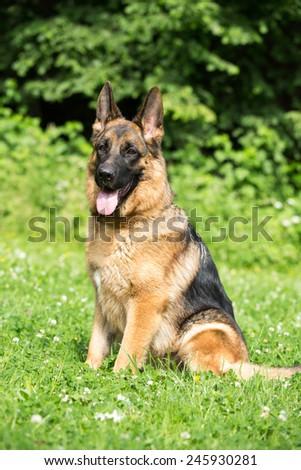 Portrait of a nice German shepherd dog - stock photo