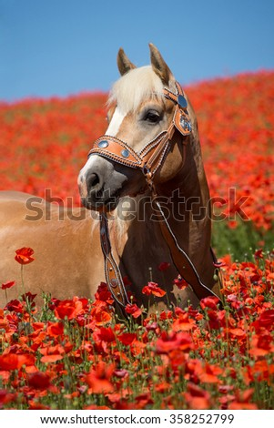 Portrait of a nice Haflinger horse in the poppy field - stock photo